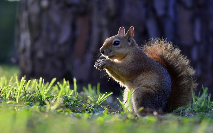 Animals-Squirrel-HD-Wallpapers-for-mobile-phones-and-laptops-2560x1600
